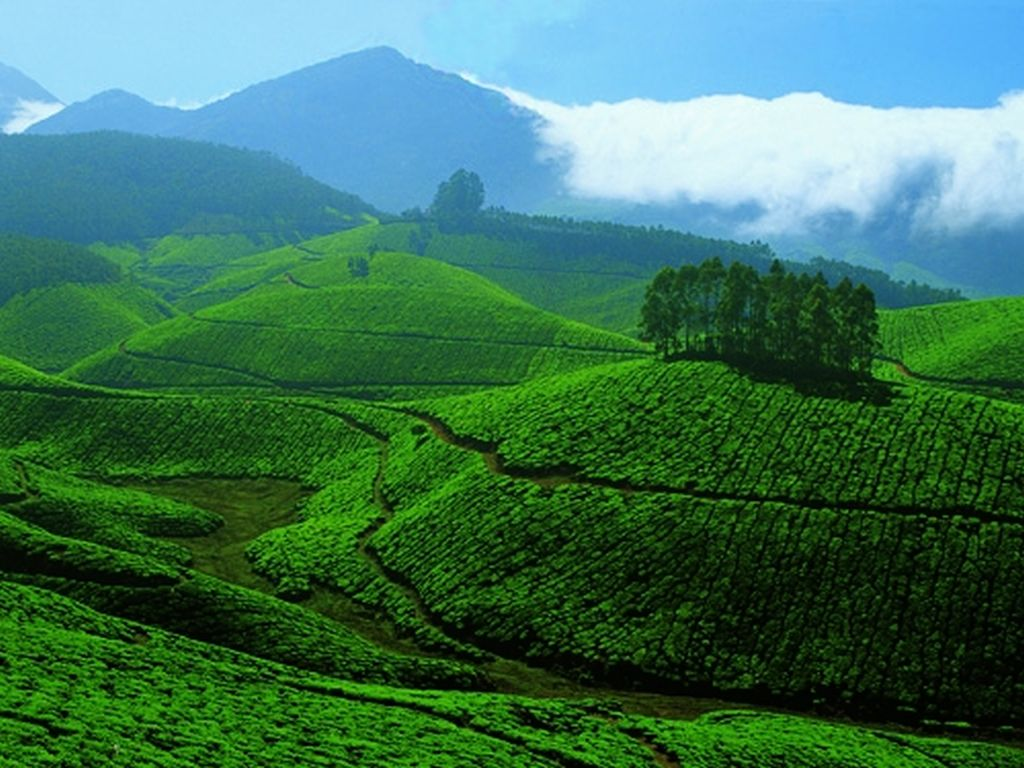 tea_gardens_at_devikulam_munnar